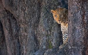southernafrican leopard