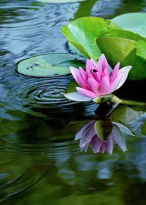 waterlily❤️🌸