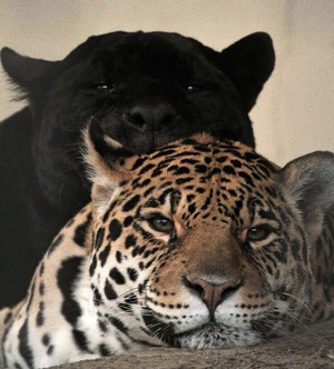 A panther and a cheetah