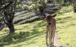 गाय का बच्चा, बछड़ा