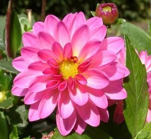 DAHLIA SUNSET 담홍색, 핑크