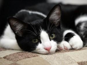 El gato blanco y negro (Black and white cat)
