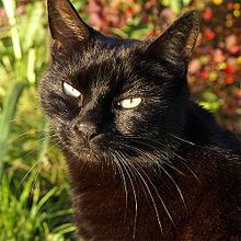El gato negro (Black cat)