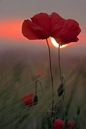beautiful poppy-seed❤️🌸
