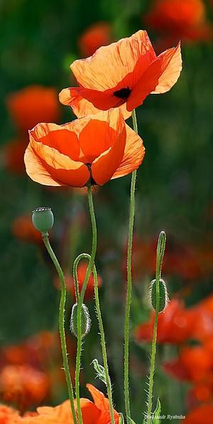 poppy-seed❤️🌸