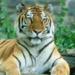 tigers - cute-sloths-majestic-dolphins-and-tigers icon