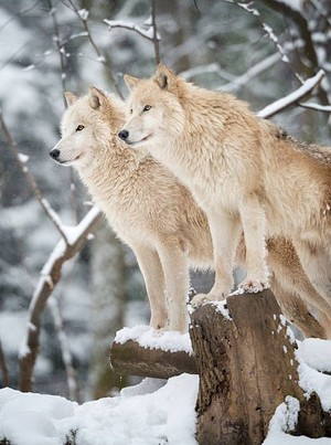 Wolves🐺