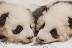 twin panda cubs at Berlin Zoo