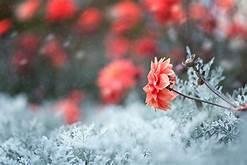 winter 꽃