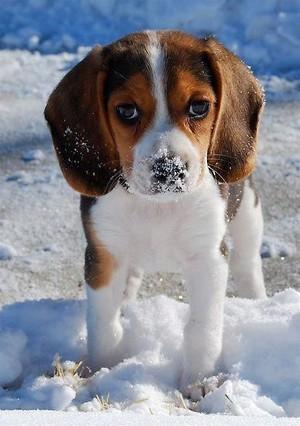 beagle puppies🐶❤
