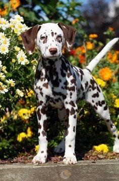 Dalmatian puppy🐕💖