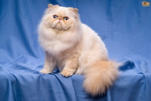 Flame Point Persian
