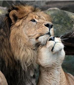 Lions couple❤