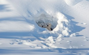 Polar ভালুক Cubs