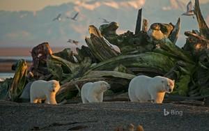 Polar chịu, gấu With Cubs