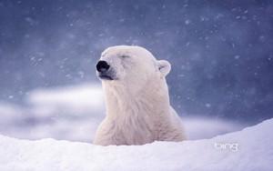 Polar ভালুক near Hudson উপসাগর Churchill Manitoba Canada