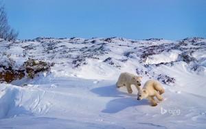 Polar ভালুক cubs playing Hudson উপসাগর Canada
