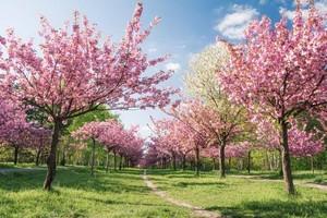 চেরি Blossoms in Kashmir