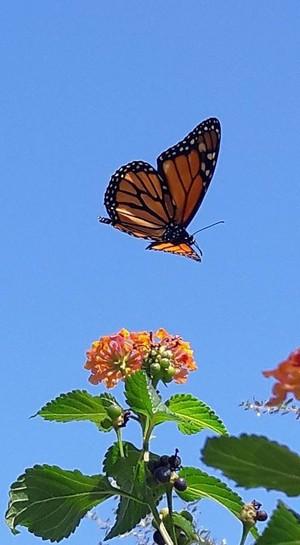 Monarch mariposas