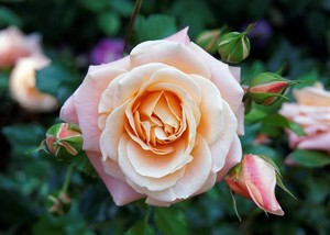 Rose for you sweetie <3