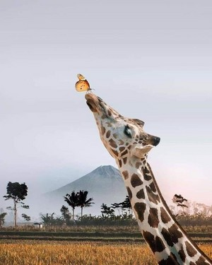 beautiful giraffes🦒