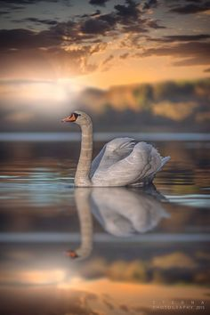beautiful swan🦢💕