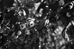 black & white berries