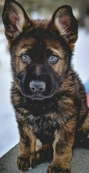 german shepherd puppies🐕