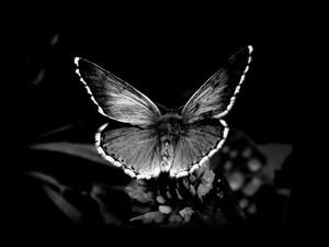 Black and white mariposa