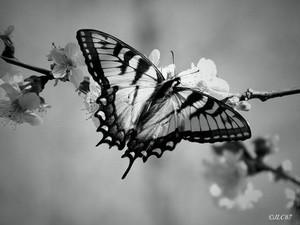 Black and white con bướm, bướm