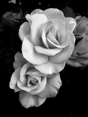 Black and white Bunga