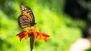 kupu-kupu over a bunga