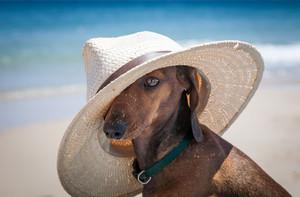 Dog with Hat at pantai [Summer]