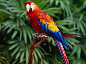 Red Macaws in the Jungle