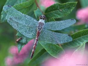 Beautiful Dragonfly 💜