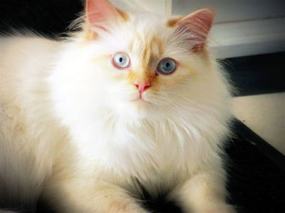 Himalayan Cats Which type of Himalayan do you prefer Flame Point Himalayan