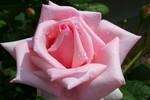 kulay-rosas