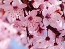 quả anh đào, anh đào Blossom 🌸