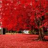 체리 Blossom 나무, 트리