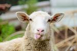 mouton, moutons