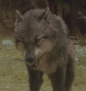 Which serigala, wolf is this?