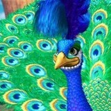 What was the name of the peacock in the island princess?