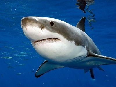 What does the great white shark (Carcharodon carcharias) have five of?