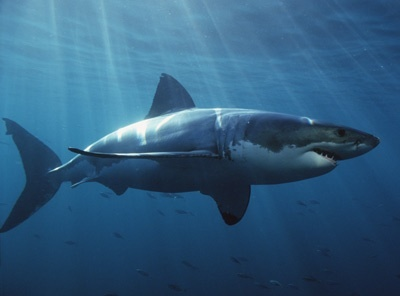 Which is larger, the male great white tiburón o the female?