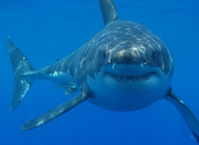 Great white sharks have been known to breach, atau jump out of the water, in pursuit of prey.