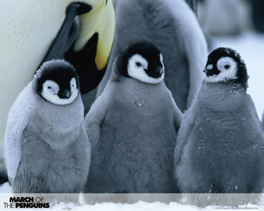If sufficiently startled, how high can a penguin actually jump in the air?