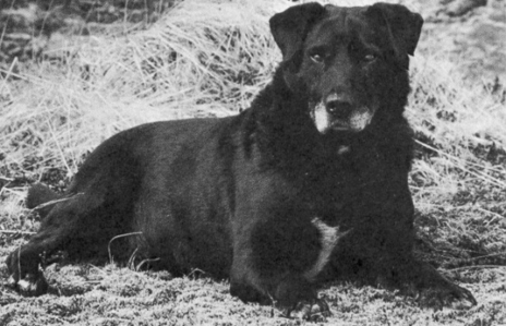 What type of breeds is the St. John's Water Dog the ancestor to?