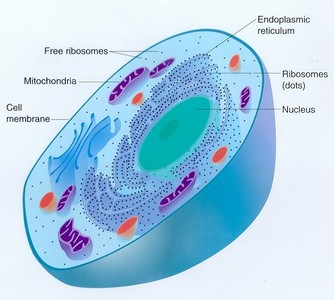 What is the last phase of cell mitosis?