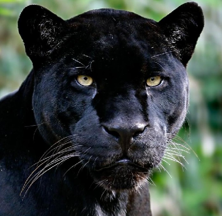 What Is The Scientific Name Of The Jaguar?