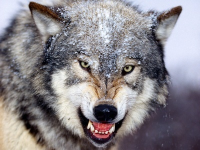 How many teeth does a lobo have?